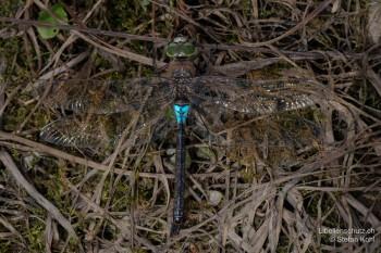 Anax parthenope – Kleine Königslibelle