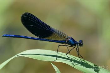 Calopteryx splendens caprai – Gebänderte Prachtlibelle