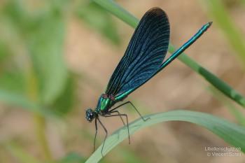 Calopteryx virgo virgo – Blauflügel-Prachtlibelle