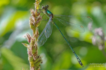 Chalcolestes viridis – Weidenjungfer