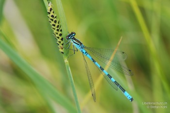 Coenagrion hastulatum – Speer-Azurjungfer