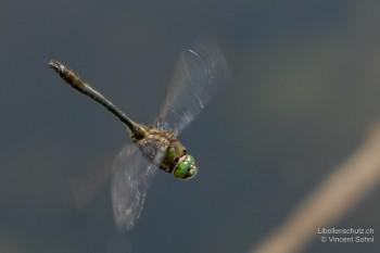 Cordulia aenea – Falkenlibelle