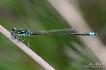 Ischnura pumilio – Kleine Pechlibelle