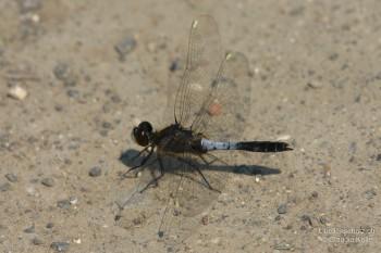 Leucorrhinia caudalis – Zierliche Moosjungfer