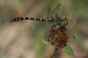 Onychogomphus forcipatus forcipatus – Kleine Zangenlibelle