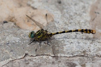Onychogomphus uncatus – Grosse Zangenlibelle