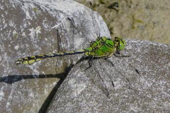 Ophiogomphus cecilia – Grüne Flussjungfer