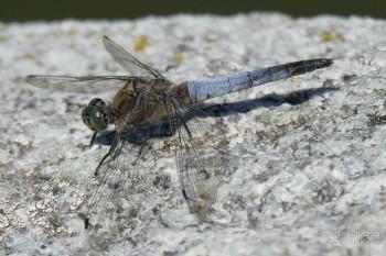 Orthetrum cancellatum – Grosser Blaupfeil