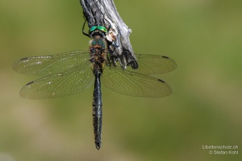 Somatochlora alpestris – Alpen-Smaragdlibelle