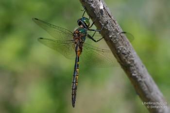 Somatochlora flavomaculata – Gefleckte Smaragdlibelle
