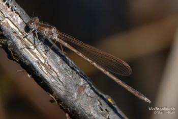 Sympecma paedisca – Sibirische Winterlibelle